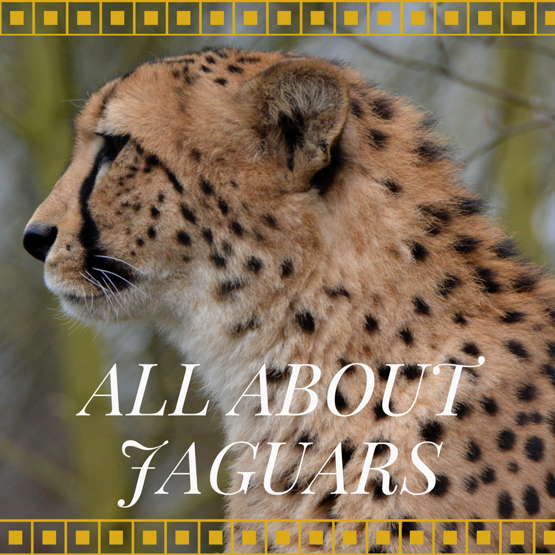 The Adventures of Marisol Homes: All About Jaguars