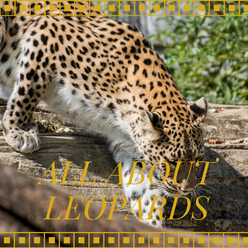 The Adventures of Marisol Holmes: All About Leopards