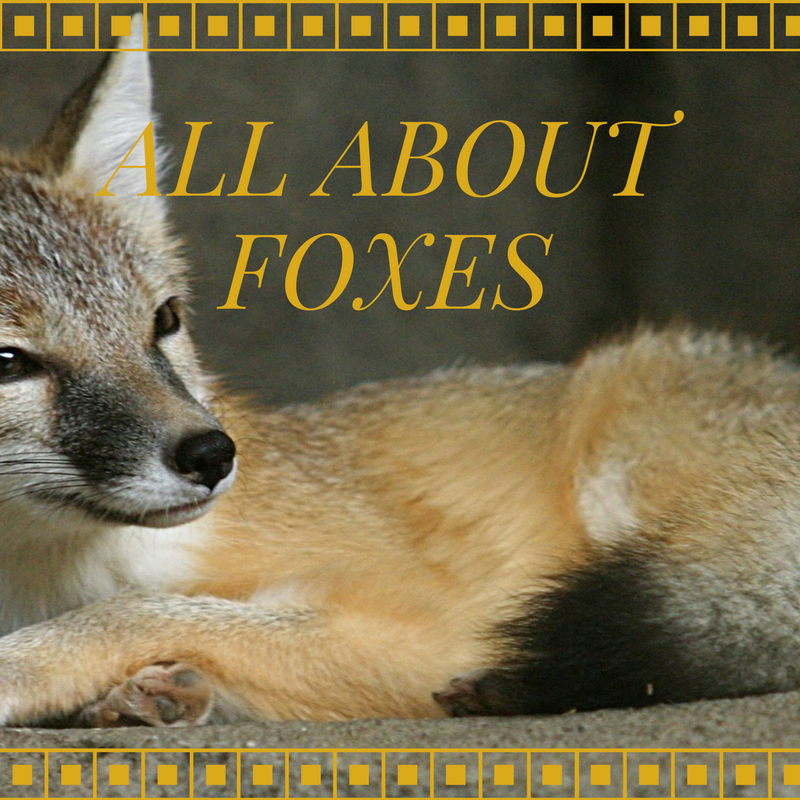 The Adventures of Marisol Holmes: All About Foxes